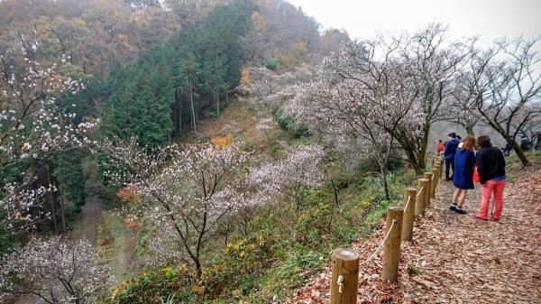 桜山公園の冬桜(群馬藤岡市鬼石)