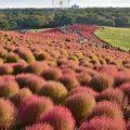 秋の紅葉コキア(国営ひたち海浜公園)