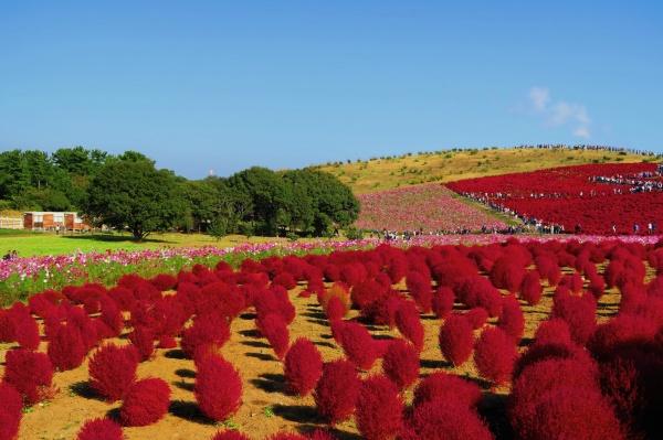 国営ひたち海浜公園のコキアの紅葉