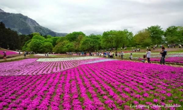 羊山公園の芝桜(秩父)
